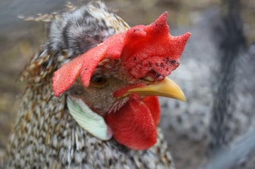 インドネシアのサリム・グループは同国内で養鶏事業参入を決定