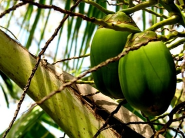 タイのココナッツオイル生産企業、トロピカーナオイルはR&D投資強化