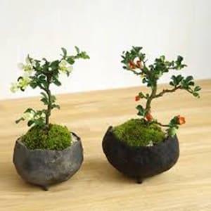 タイ国内の盆栽ビジネス、ガーデニング市場に関して【タイ:高級品・盆栽】