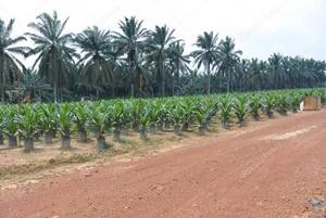 マレーシアの農園大手、IJMプランテーション、クアラルンプール・ケポン【マレーシア:農園】